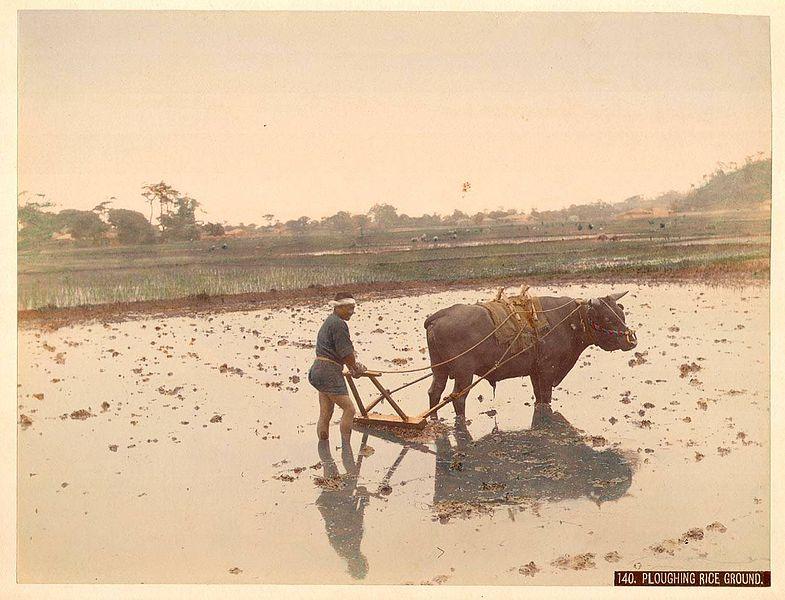785px-Kusakabe_Kimbei_-_140_Ploughing_Rice_Ground